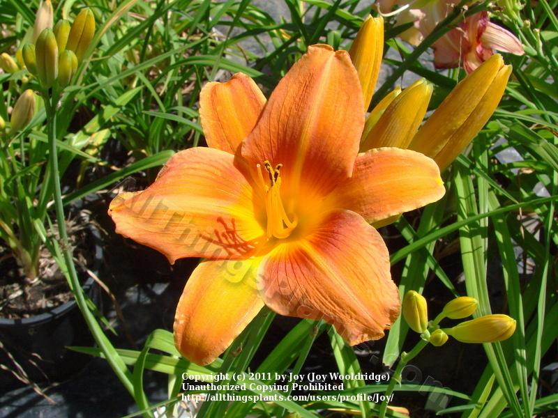 Photo of Daylily (Hemerocallis 'Orange Vols') uploaded by Joy