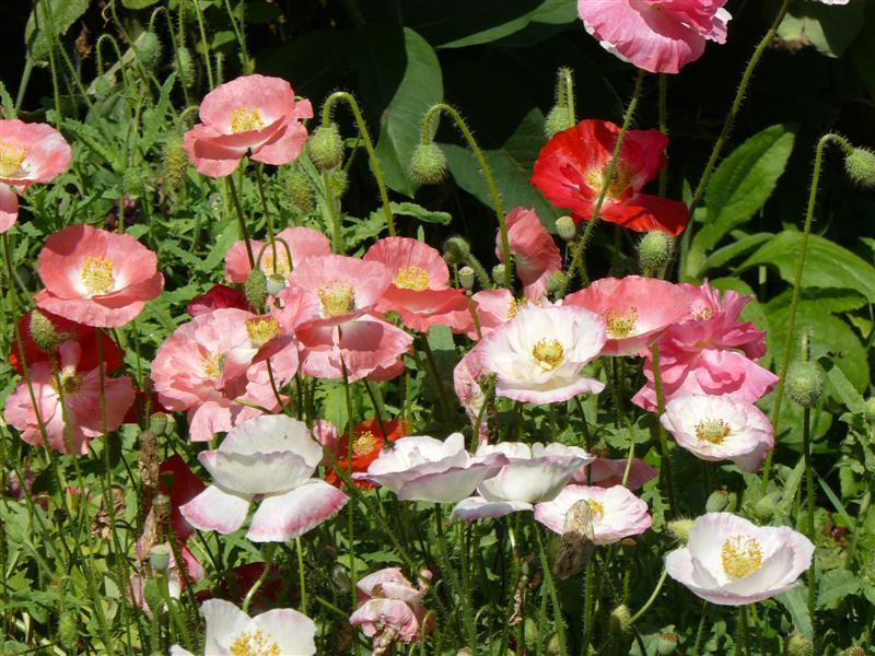 Photo of Poppy (Papaver rhoeas 'Shirley Poppy') uploaded by threegardeners