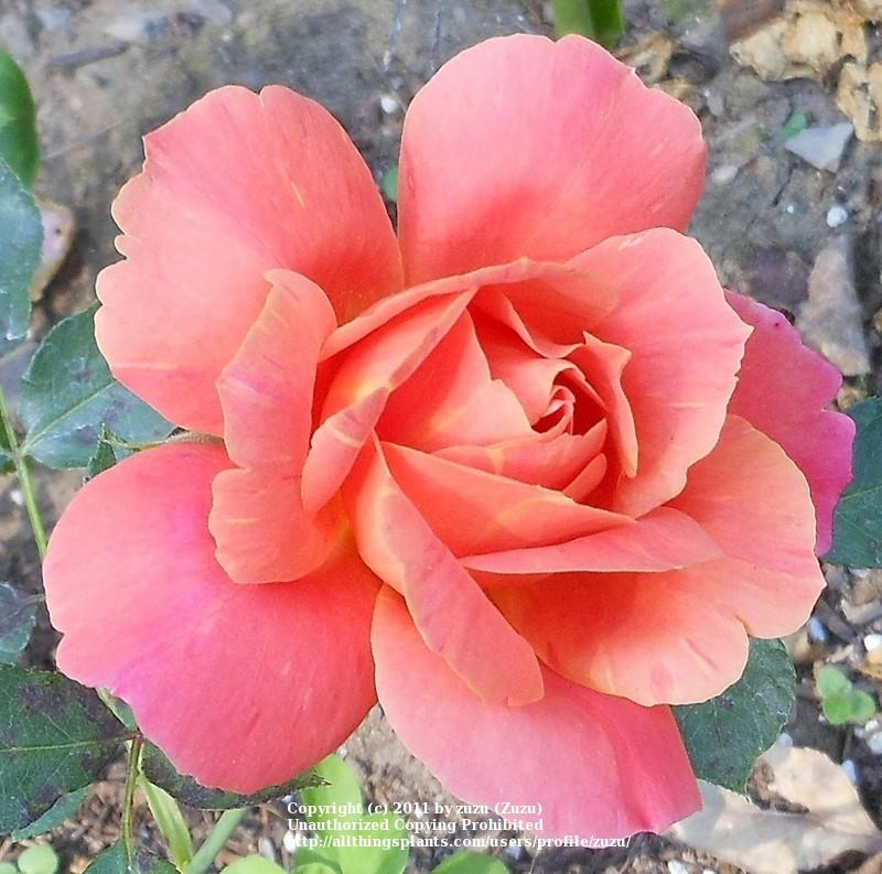 Photo of Rose (Rosa 'Disneyland Rose') uploaded by zuzu