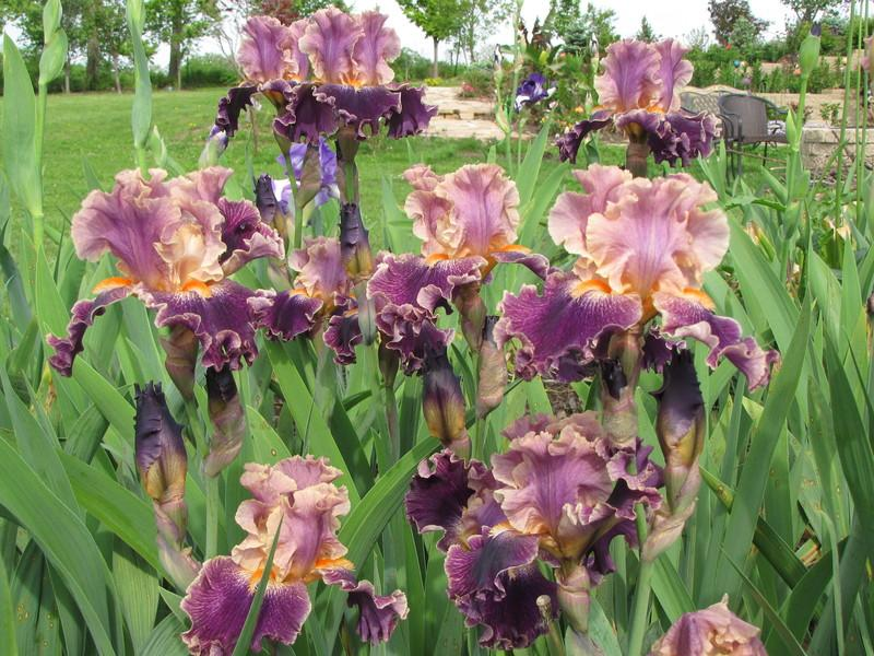 Photo of Tall Bearded Iris (Iris 'Entangled') uploaded by ARUBA1334