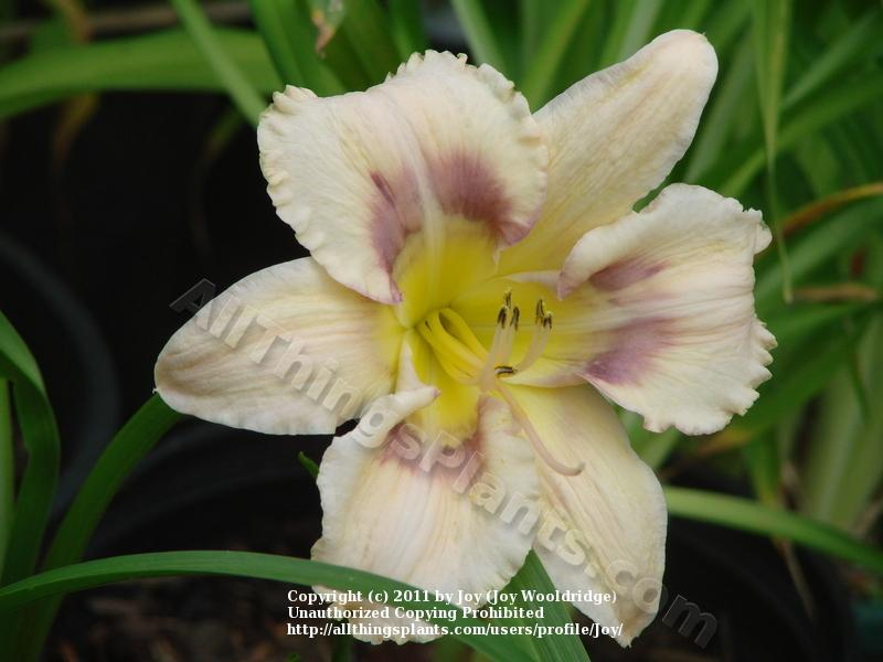 Photo of Daylily (Hemerocallis 'Mysterious Eyes') uploaded by Joy