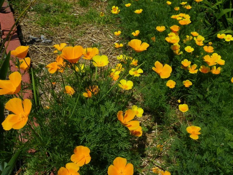 Photo of California Poppy (Eschscholzia californica) uploaded by Newyorkrita