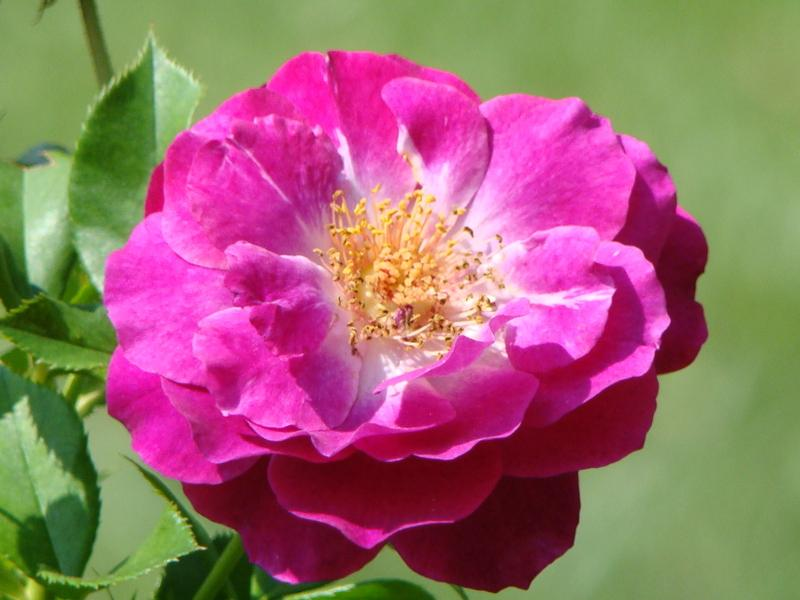Photo of Rose (Rosa 'Wild Blue Yonder') uploaded by Val
