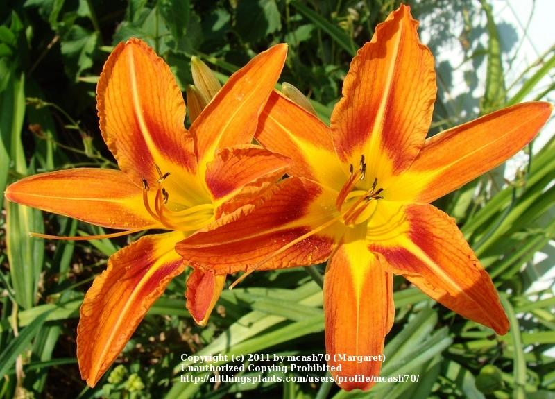 Photo of Ditch Lily (Hemerocallis fulva) uploaded by mcash70
