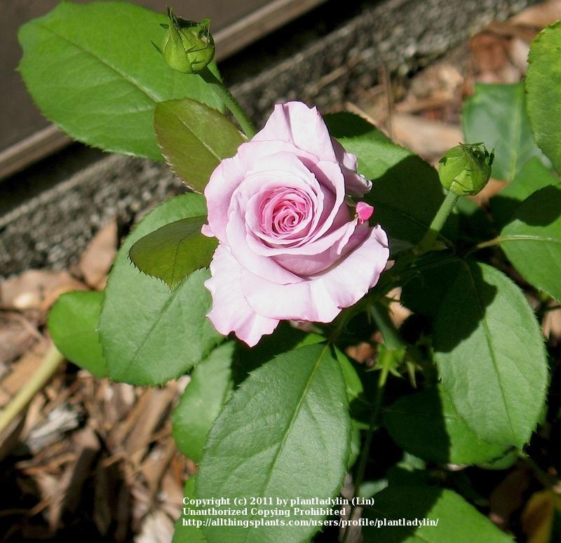 Photo of Rose (Rosa 'Angel Face') uploaded by plantladylin