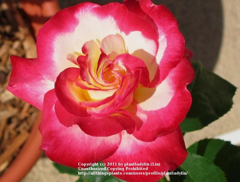 Photo of Rose (Rosa 'Double Delight') uploaded by plantladylin
