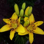 Location: Back yard gardenDate: July 2011Asiatic Lily