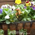 Plant Pansies for Winter Flowers