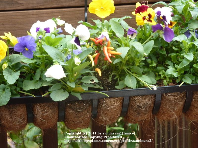 Plant pansies for winter flowers pretty garden plant pansies for winter flowers mightylinksfo