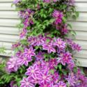 How and Why to Prune Clematis