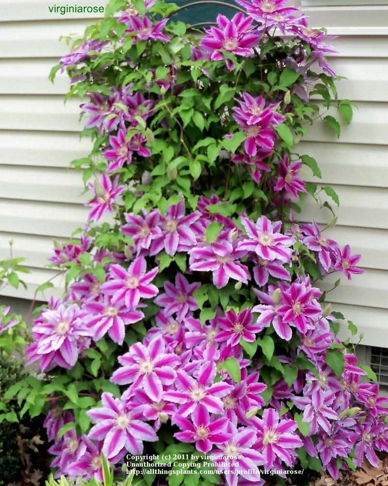 photo of the entire plant of clematis 39 dr ruppel 39 posted by virginiarose. Black Bedroom Furniture Sets. Home Design Ideas