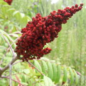 Location: Northeastern TexasDate: FallThe bright red berries persist thoughout winter