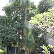 Location: Southeast FloridaDate: October 1, 2011Tallest example I have found of this beautiful tree.