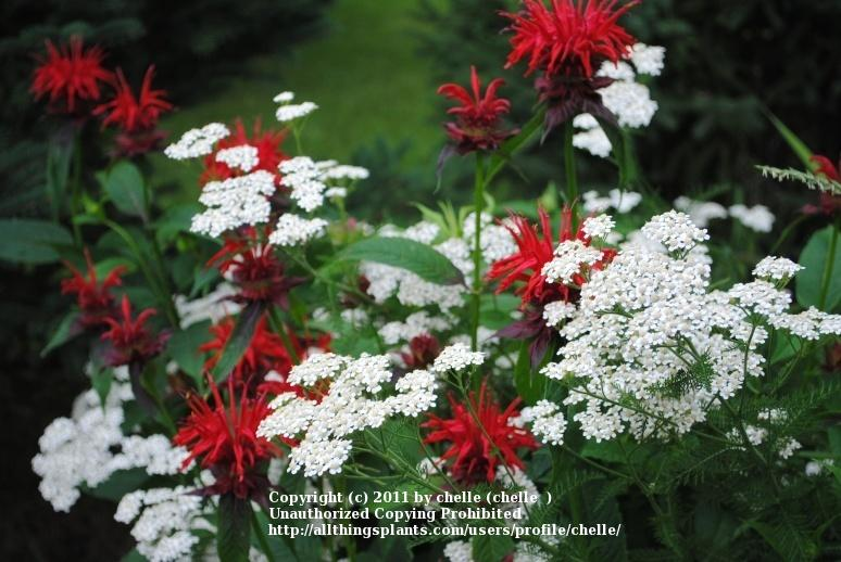 Photo of Bee Balm (Monarda didyma 'Gardenview Scarlet') uploaded by chelle