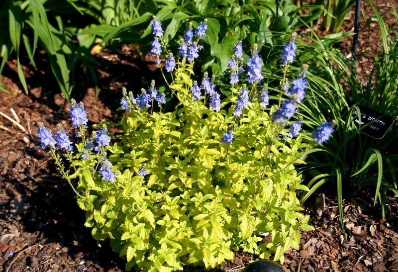 Photo of Prostrate Speedwell (Veronica prostrata 'Aztec Gold') uploaded by daylily