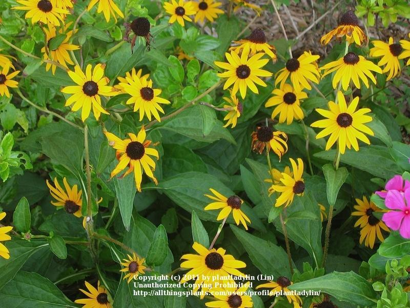 Photo of Black Eyed Susans (Rudbeckia) uploaded by plantladylin