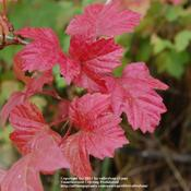 Location: Pacific NorthwestDate: 2011-10-02Wonder scarlet fall color with a glossy look and feel t