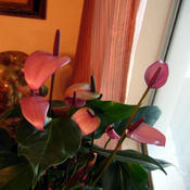 Location: Bedroom, south facing window, dappled lightDate: 10/3/2011Anthurium scandens Purple blooms