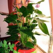Location: By Southern facing window, no sun, dappled light.Date: 10/2/2011Anthurium scandens 'Purple'