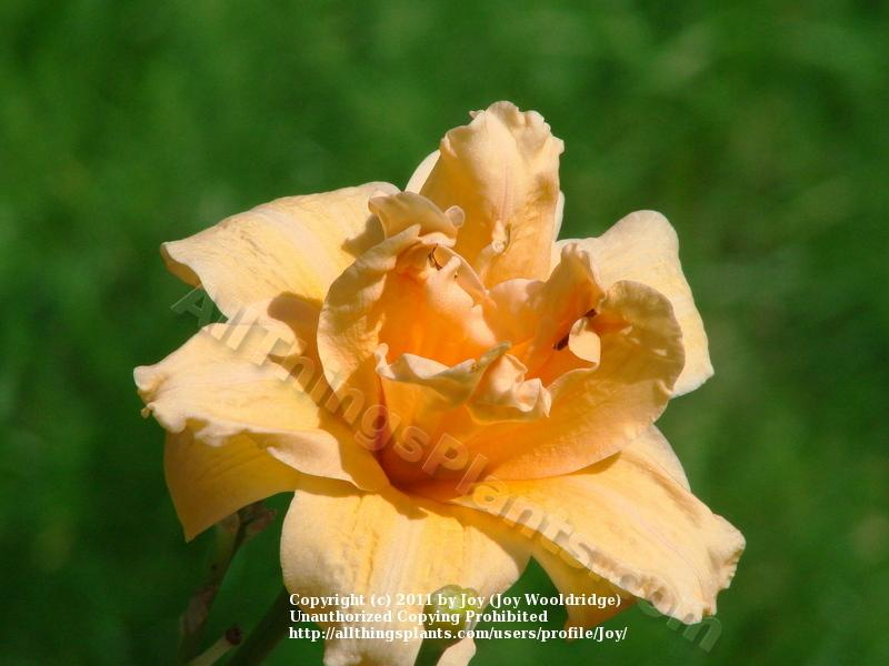 Photo of Daylily (Hemerocallis 'Zada Mae') uploaded by Joy