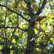 Location: Natural Area in Northeastern IndianaDate: 2011-10-03Both Branches and Trunks Have Thorns