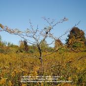 Location: Natural Area in Northeastern IndianaDate: 2011-10-03Young Plant Showing Lanky Growth Pattern