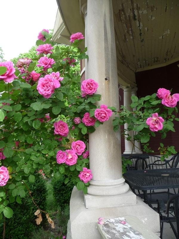 Photo of Rose (Rosa 'Pink Peace, Cl.') uploaded by gardengus
