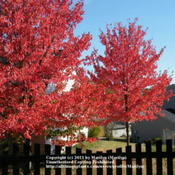 Location: Northern KYDate: 2010-10-14Two of my next door neighbor's three Red Sunset trees.  Very beau