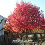 Location: Northern KYDate: 2010-10-14My next door neighbor's tree, taken from my yard.