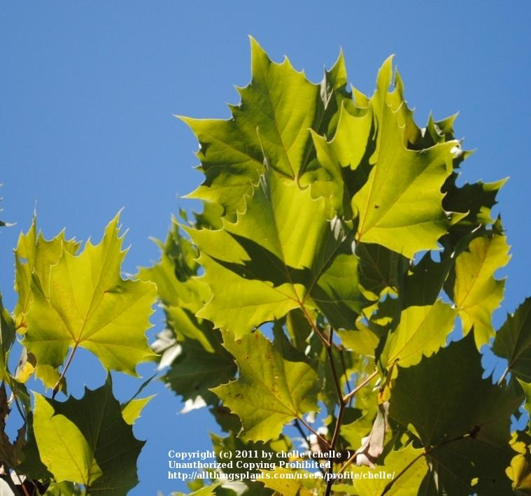 Photo of American Sycamore (Platanus occidentalis) uploaded by chelle