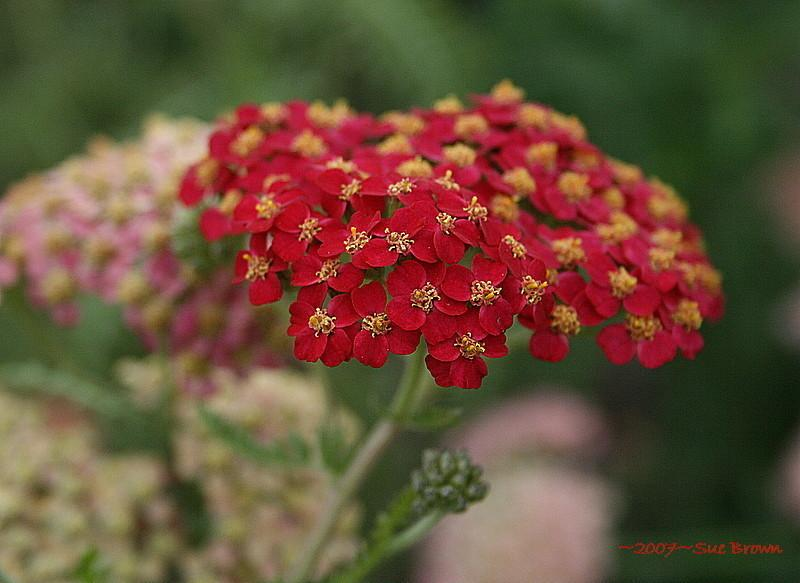 Yarrow bloom