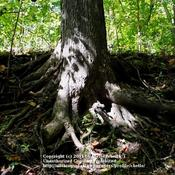 Location: Natural Area in Northeastern IndianaDate: 2011-10-04Trunk Base and Root Structure