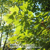 Location: My Northeastern Indiana Gardens - Zone 5Date: 2011-10-05End of summer leaves. There will be a remarkable change within th