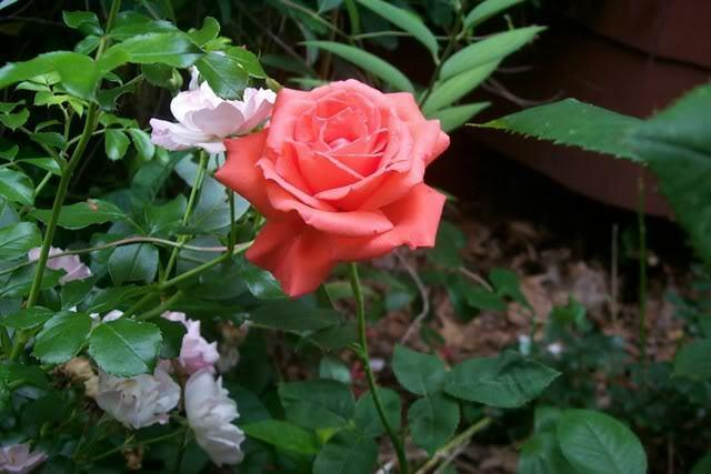 Photo of Rose (Rosa 'Tropicana') uploaded by Newyorkrita