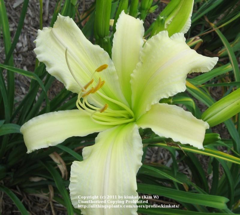 Photo of Daylily (Hemerocallis 'Heavenly Angel Ice') uploaded by kimkats