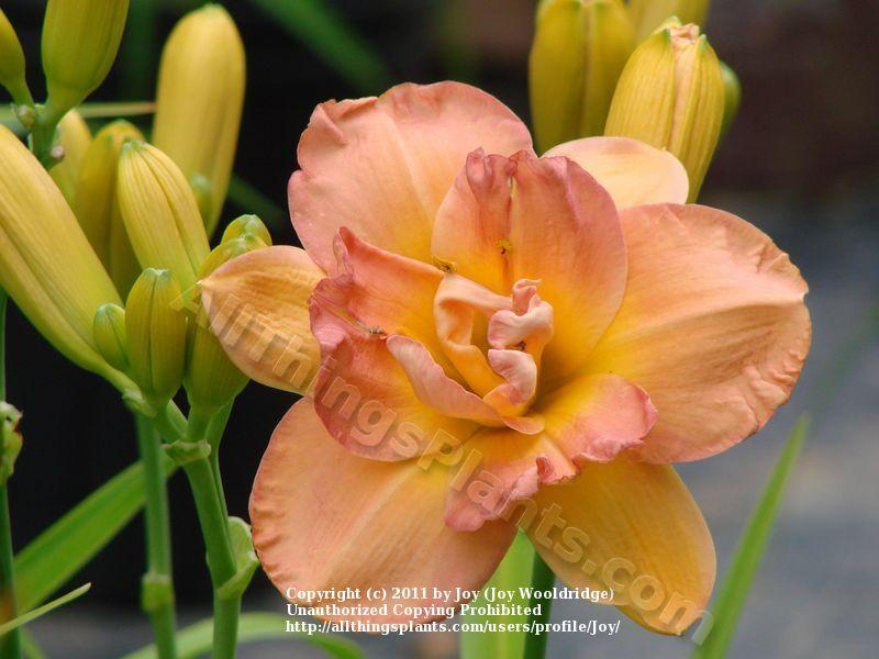 Photo of Daylily (Hemerocallis 'Frances Joiner') uploaded by Joy