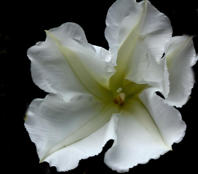 Photo of Moonflower (Ipomoea alba) uploaded by luvsgrtdanes