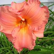 Location: Melvindale, Mi. 48122Date: Mid to late season 2010An unusual color like no other and a great bloomer.
