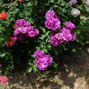 Location: In my garden Violet roses