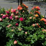 Location: In my garden Different shrub roses in bloom