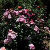 Location: In my garden Mostly pink roses