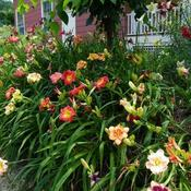 Date: 2011-07-11Daylilies growing on slope at the side of my driveway.