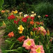 Mixed bed of late blooming daylilies.