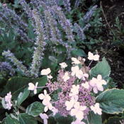 Location: Part Sun Pittsford NYDate: 2011-08-11I agree with Larry. Most favorite Agastache hysop.This plant is u