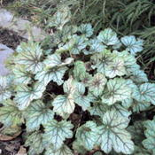 Location: Shade Garden Pittsford NYDate: 2011-10-08The prominant purple vained leaves make this plant a fa