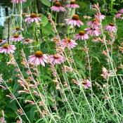Location: Sun Garden Pittsford NYDate: 2010-07-06Apache Sunset blends well with Cone flowers