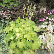 Location: Shade Garden Pittsford NYDate: 2011-08-29I like this heuchera with dark coleus .