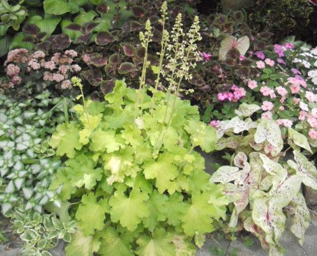 Photo of Coral Bells (Heuchera villosa 'Citronelle') uploaded by ge1836