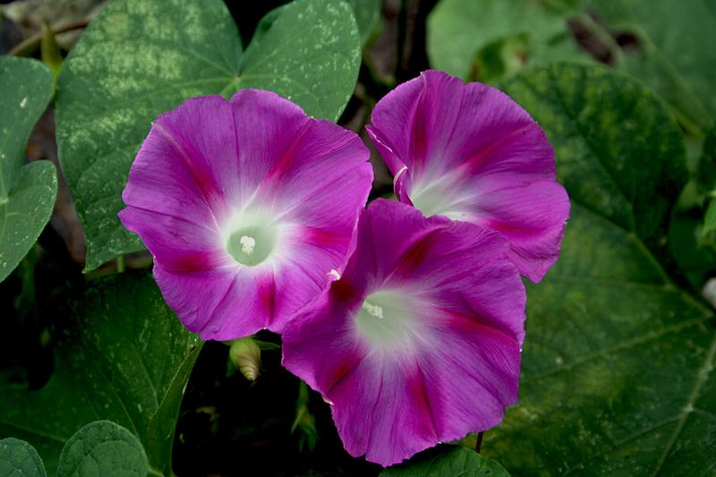 Photo of Tall Morning Glory (Ipomoea purpurea 'Crimson Rambler') uploaded by luvsgrtdanes