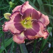 Location: Daylily Place Lillian Alabama Region 14Date: 2011-02-12Photo Courtesy of Fred Manning, Daylily Place. Used With Permissi